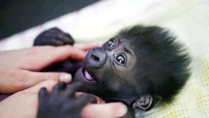 Raising Gorillas
