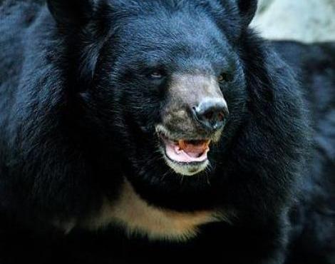 Asiatic Black Bears