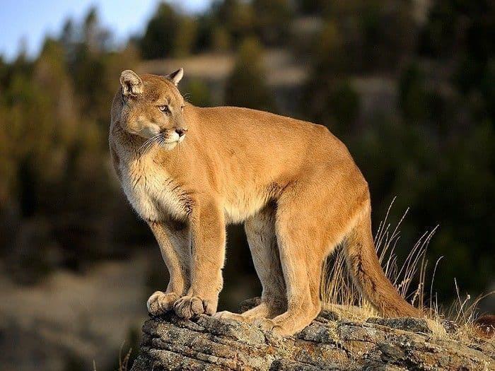 Mountain Lions Too
