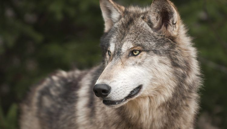 The Timber Wolf