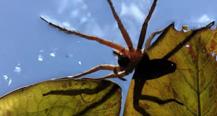 Amazon Giant Fishing Spider