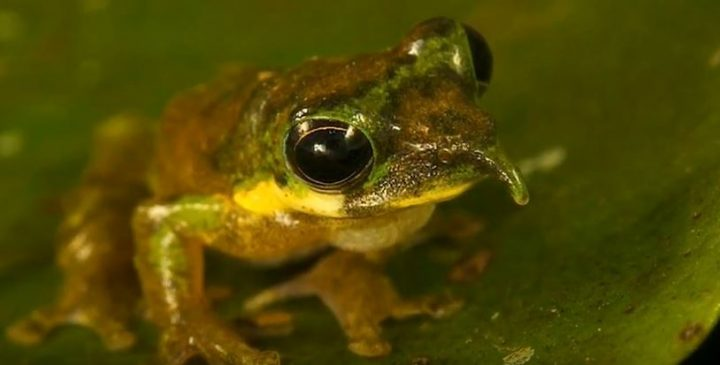 Spike-Nosed Tree Frog