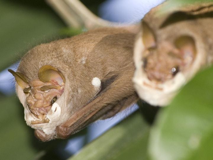 Wrinkle-Faced Bat