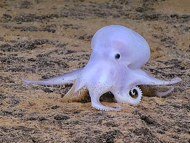 Casper Octopus