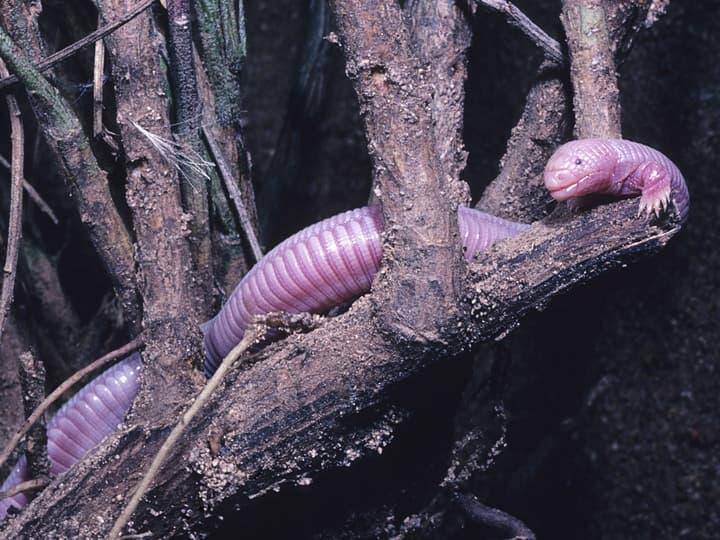 Mexican Mole Lizard