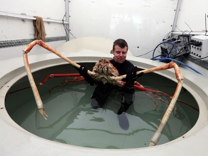 Japanese Spider-Crab