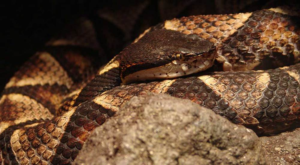 Sharp-Nosed Pit Viper