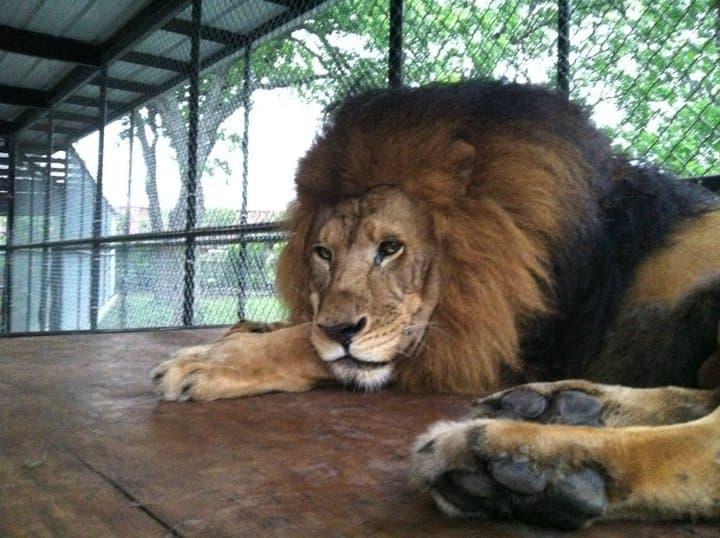 Kahn, il leone bellissimo